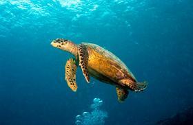 Сейшельская морская черепаха