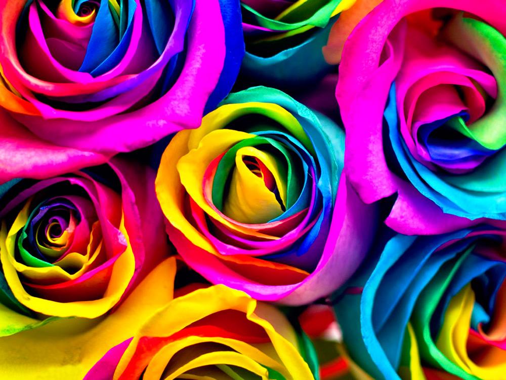 Радужные розы - самые необычные цветы